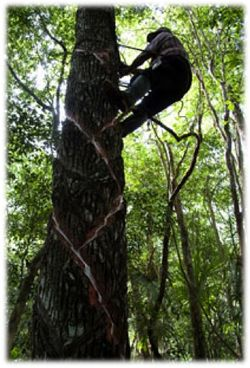 Latex tree