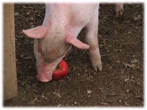 Saltash pig
